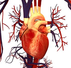282x273_human_heart